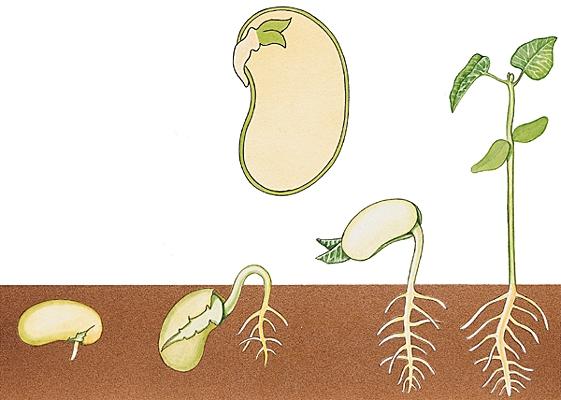 1001147-germination_c3a9pigc3a9e